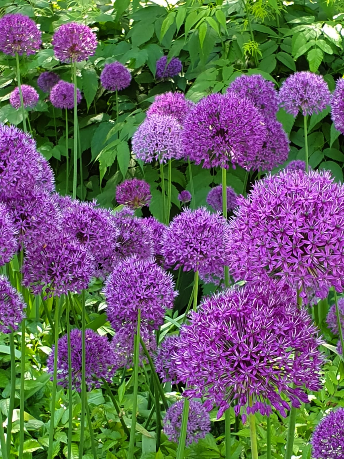 allium WhatsApp Image 2019-06-17 at 16.35.45